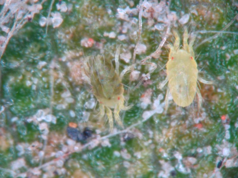 Spider Mites Web: Gallery
