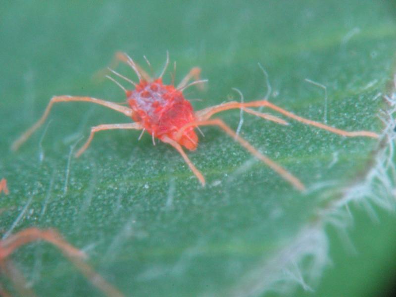Spider Mites Web: Gall...