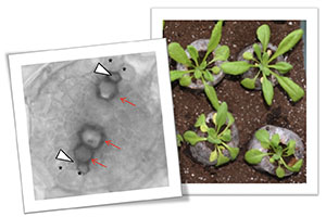 Natural variation at XND1 impacts root hydraulics and trade-off for stress responses in Arabidopsis