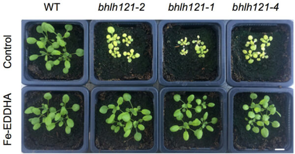 The Transcription Factor bHLH121 Interacts with bHLH105 (ILR3) and Its Closest Homologs to Regulate Iron Homeostasis in Arabidopsis