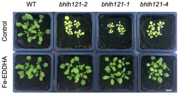 Le facteur de transcription bHLH121 interagit avec bHLH105 (ILR3) et ses plus proches homologues  pour réguler l'homéostasie du fer chez Arabidopsis.