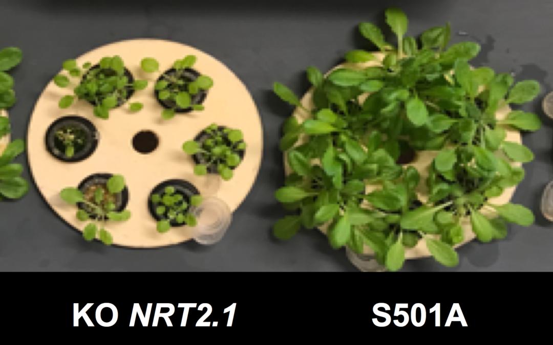La phosphorylation de l'extrémité C-terminale de NRT2.1 empêche le transport racinaire de nitrate à forte affinité chez Arabidopsis thaliana