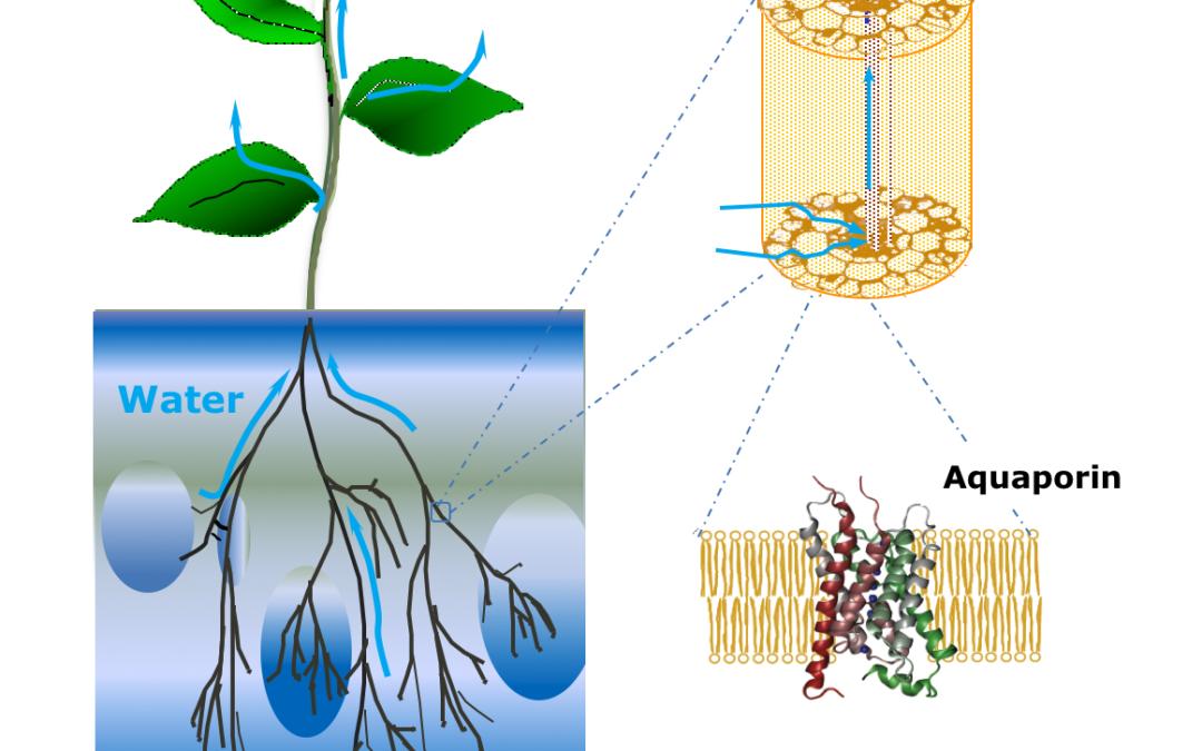 L'architecture et l'hydraulique du système racinaire contribuent toutes deux à l'acclimatation de la plante aux variations de disponibilité en eau du sol.
