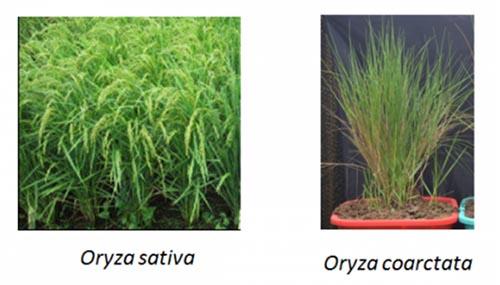 Communiqué: «face à la salinité du sol : Leçons tirées d'une variété de riz sauvage»