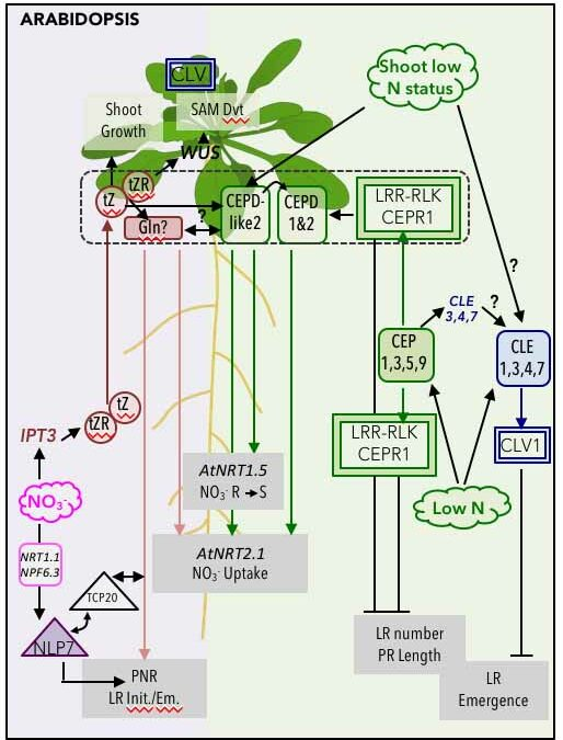 Nitrogen Systemic Signaling: From Symbiotic Nodulation to Root Acquisition