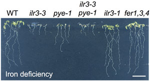 Transcriptional integration of the responses to iron availability in Arabidopsis by the bHLH factor ILR3